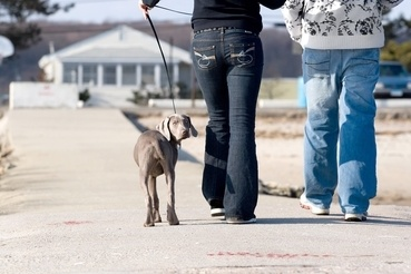 A couple walks a cute weimaraner puppy at the beach